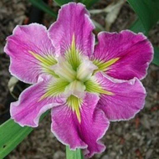 Iris Louisiana Love Me Do-barerooted