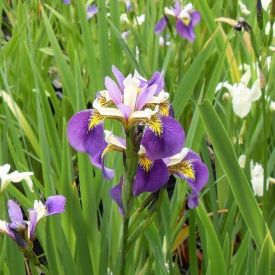 Iris Pseudacorus Regal Surprise-barerooted