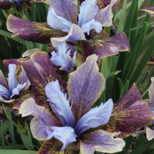 Iris Sibirica Black Joker-barerooted