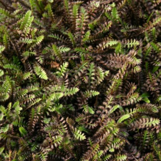 Leptinella Platts Black-plug plants