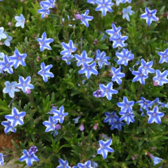 Lithodora Blue Star-plug plants