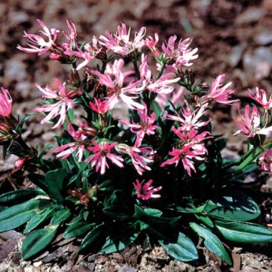 Lychnis Flos Cuculi Nana-plug plants