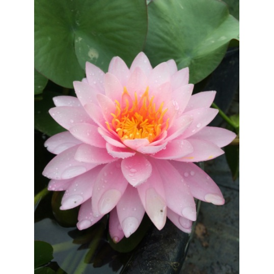 Nymphaea Chompoo Pairat-EXCLUSIVE-barerooted