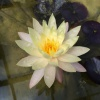 Nymphaea Cliff Tiffany-EXCLUSIVE-barerooted