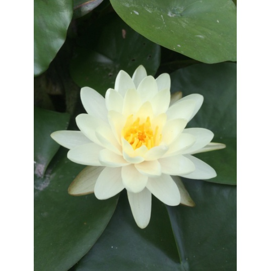 Nymphaea Denver-barerooted