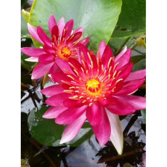 Nymphaea Erhard Oldehoff-EXCLUSIVE-barerooted