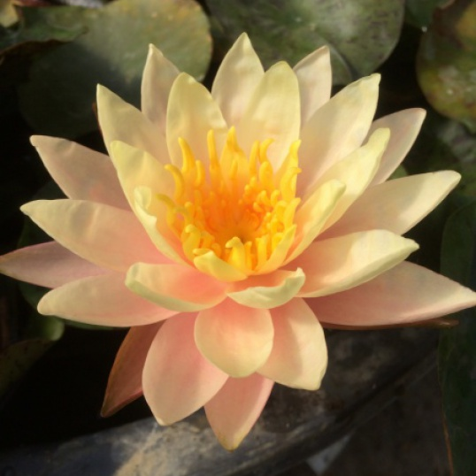 Nymphaea Golden Star-EXCLUSIVE-barerooted