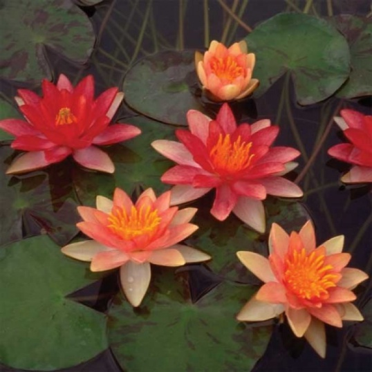 Nymphaea Indiana-TRUE CULTIVAR-barerooted