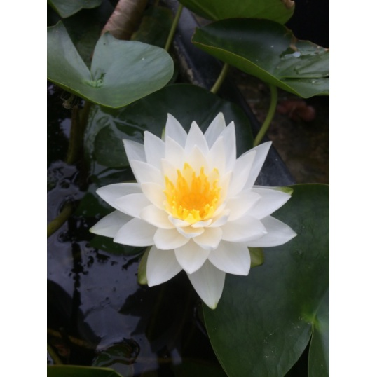 Nymphaea Manee Siam-EXCLUSIVE-barerooted