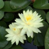 Nymphaea Perrys Double Yellow-barerooted