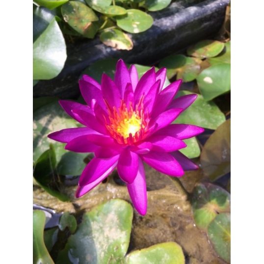 Nymphaea Purple Fantasy-EXCLUSIVE HARDY PURPLE-Patent number PP26530-barerooted