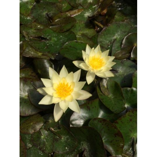 Nymphaea Pygmaea Helvola-barerooted-large sized rhizomes for Pygmaea Helvola
