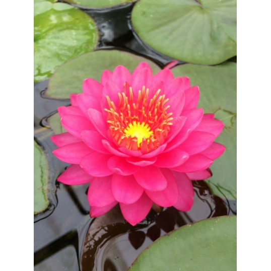 Nymphaea Razzberry-EXCLUSIVE-barerooted