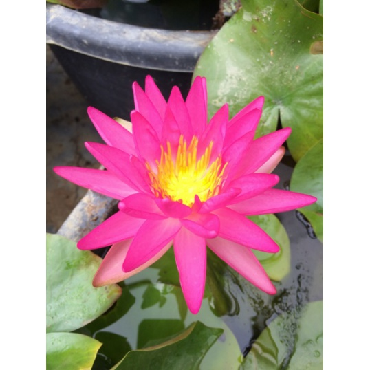 Nymphaea Tropic Star-EXCLUSIVE-barerooted