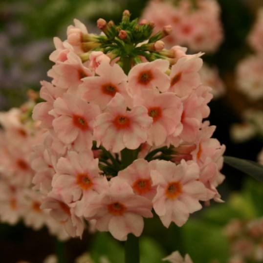 Primula Japonica Apple Blossom-9 cm pots