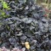 Ajuga Reptana Black Scallop-plug plants