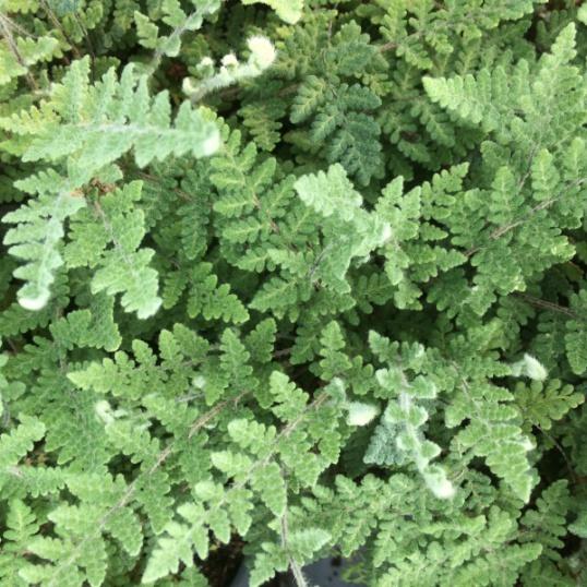 Chelianthes Tomentosa-9 cm pots