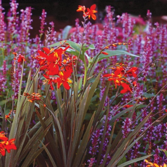 Crocosmia Twilight Fairy Crimson-9 cm pots