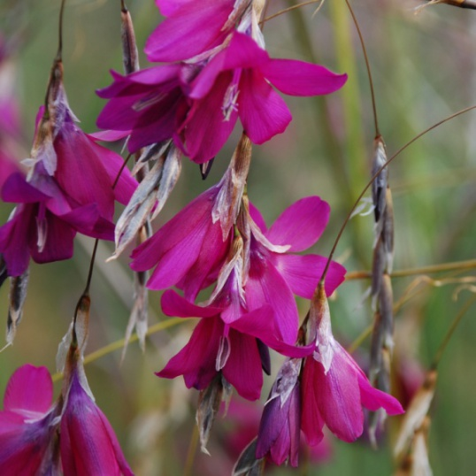 Dierama Blackberry Bells- 9 cm pots