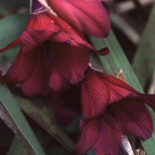 Dierama Blackbird-9 cm pots