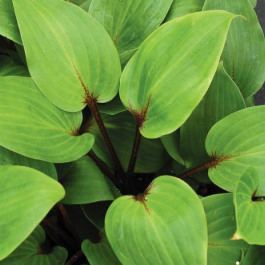 Hosta Purple Heart-9 cm pots