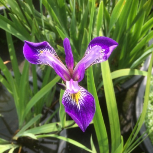 Iris Versicolor Mountain Brook-barerooted