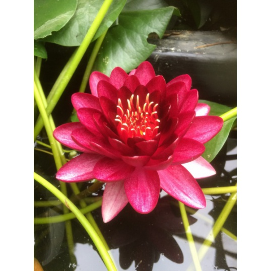 Nymphaea Almost Black-barerooted-True  Blood Red Cultivar NOT Purple as advertis