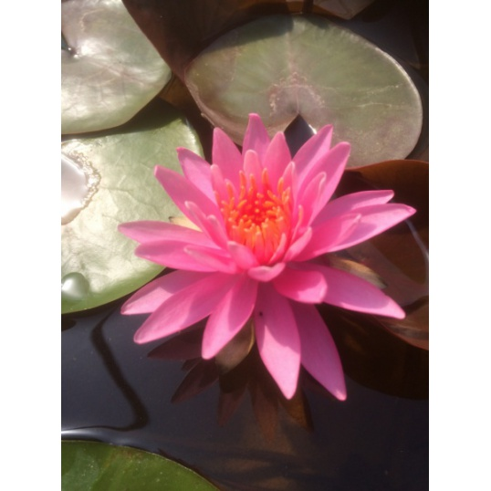 Nymphaea Angelique- EXCLUSIVE-barerooted