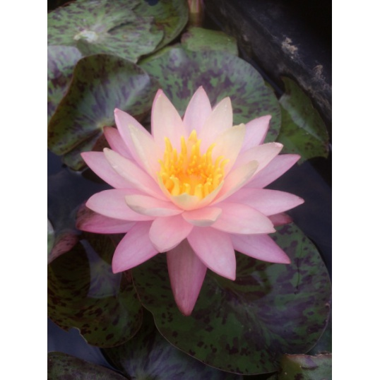 Nymphaea Dwarf Beauty-EXCLUSIVE-barerooted