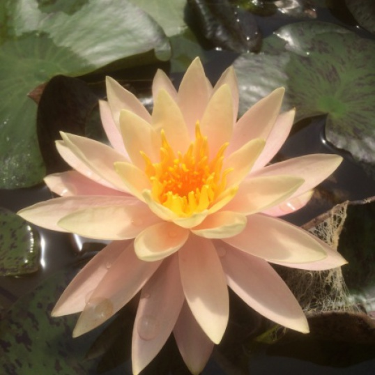Nymphaea Flore De Cologne-EXCLUSIVE-barerooted