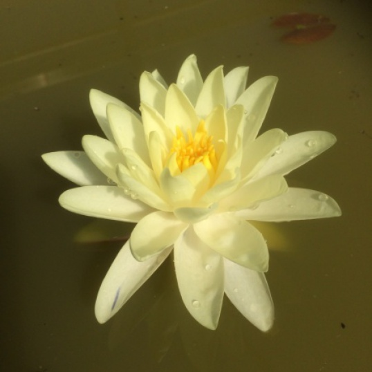 Nymphaea Gold Medal-barerooted