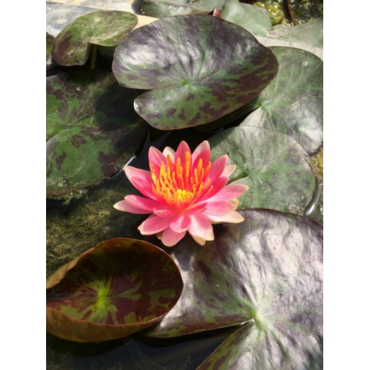 Nymphaea Gypsy-barerooted