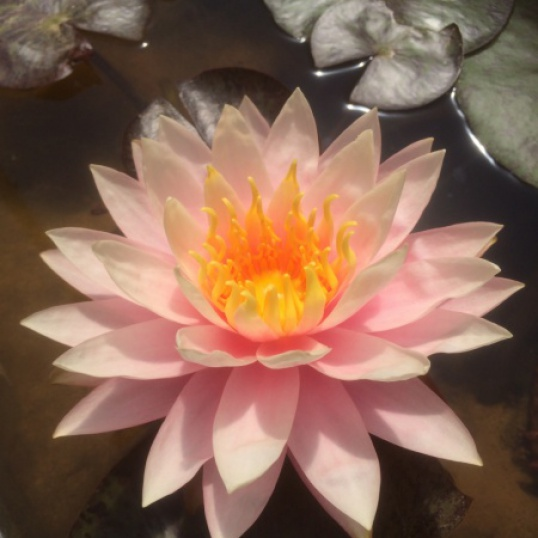 Nymphaea Haunting Beauty-barerooted