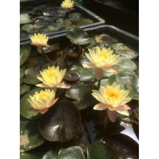 Nymphaea Honey Cup-barerooted