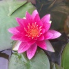 Nymphaea Lucky Red-EXCLUSIVE-barerooted
