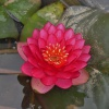 Nymphaea Manee Red-EXCLUSIVE-barerooted