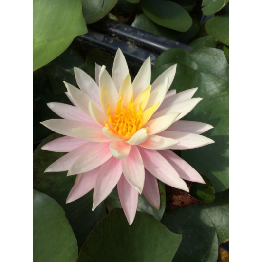 Nymphaea Myra-EXCLUSIVE-barerooted