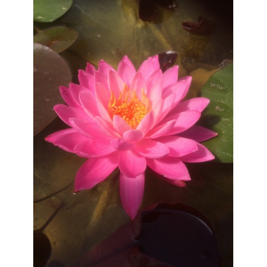 Nymphaea Siam Lucky-barerooted