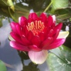 Nymphaea Perrys Deepest Red-barerooted