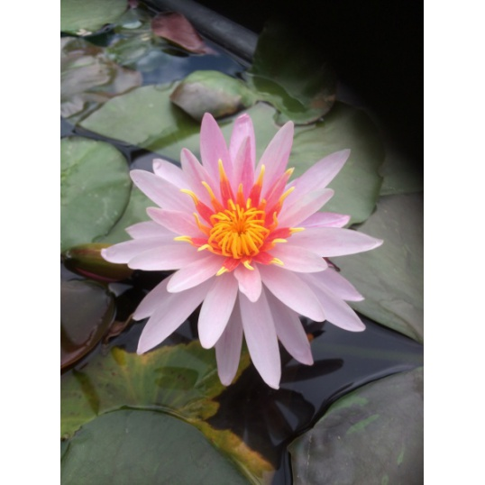 Nymphaea Pink Dawn-EXCLUSIVE-barerooted