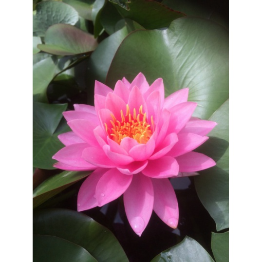 Nymphaea Pink Ribbon-EXCLUSIVE-barerooted