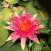 Nymphaea Red Spider-barerooted