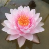 Nymphaea Siam Rose-barerooted