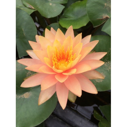Nymphaea Siam Sunset-EXCLUSIVE-barerooted