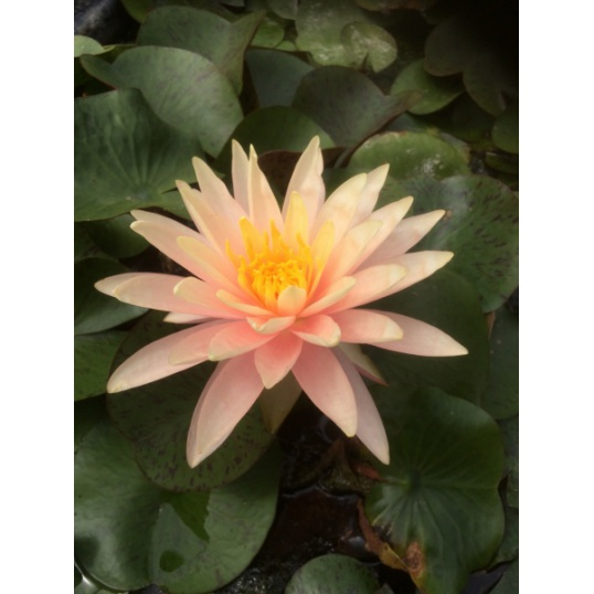 Nymphaea Sunny Pink-barerooted