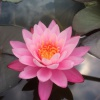 Nymphaea Tangerine Pink-EXCLUSIVE-barerooted