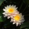 Nymphaea Tony Star like-EXCLUSIVE-barerooted