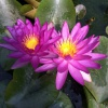 Nymphaea Violicious-EXCLUSIVE HARDY PURPLE-barerooted