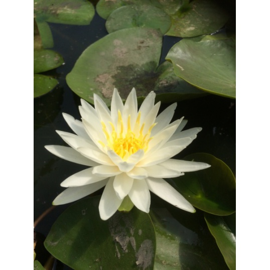 Nymphaea White Star-barerooted