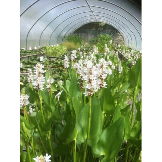 Pontederia Cordata Alba-barerooted